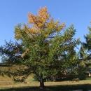Modřín se postupně obarvuje s postupujícím podzimem