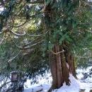 """Nechte si na zahradě přerůst """"túji"""" (zerav) a máte hnedka památný strom"""